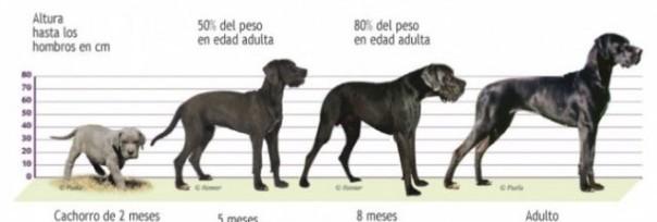 Etapas perro